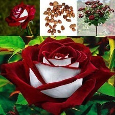 semilla rosa blanca borde rojo flores raras 10 semillas
