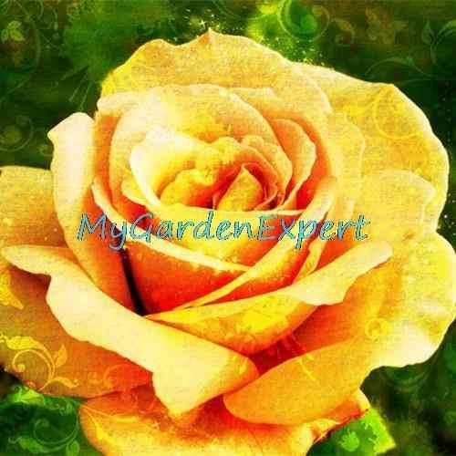 semilla rosa gold yellow flores raras 10 semillas