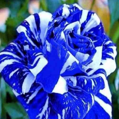 Semilla Rosas Azules Y Blancas Flores Raras 10 Semillas 15000