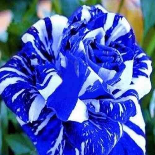 semilla rosas azules y blancas flores raras 10 semillas