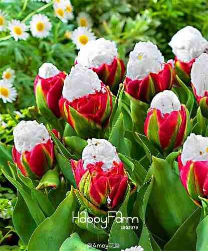 semilla tulipan algodon flores raras 10 semillas importadas
