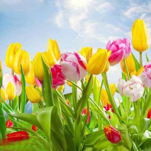 semilla tulipan arco iris flores raras 10 semillas