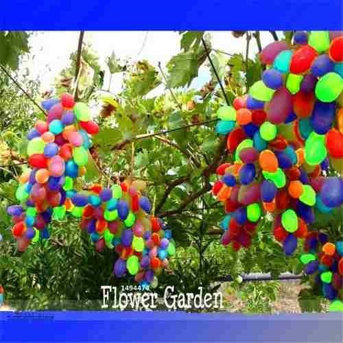 semilla uvas arco iris comestibles flores raras 10 semillas