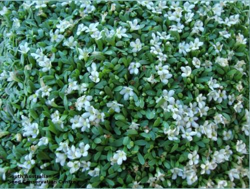 semillas acuario glossostigma hojas pequeñas tapizante