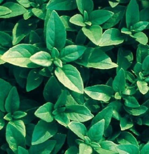 semillas albahaca italiana fina verde