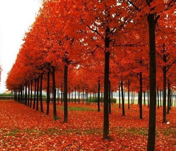 40 semillas arce rojo rubrum maple canadiense arboles - Arce arbol variedades ...