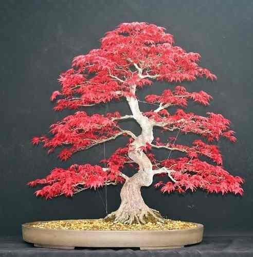 Semillas arce japones acer japonico palmatum rojo purpura - Arce arbol variedades ...