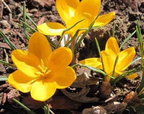 semillas azafrán amarillo bonsai flores amarillas x20