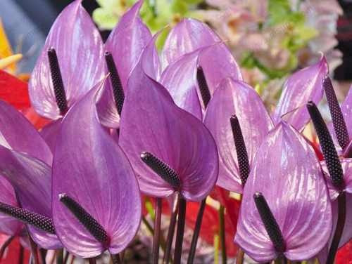 semillas bonsai flores púrpura anthurium andraeanu x10