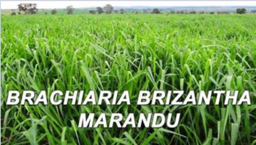 semillas brachiaria brizanta marandu importada de brasil 1kg