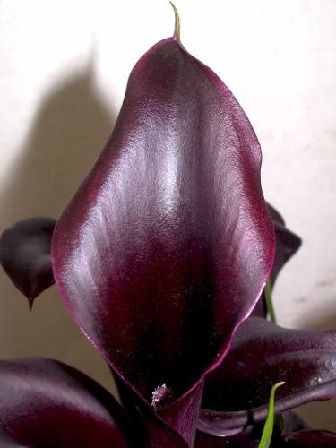 semillas cala negra pack x 10