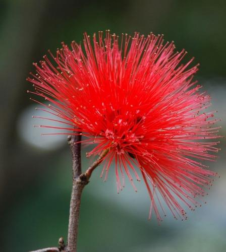 semillas carbonero rojo para bonsái u ornamental 25 unidades