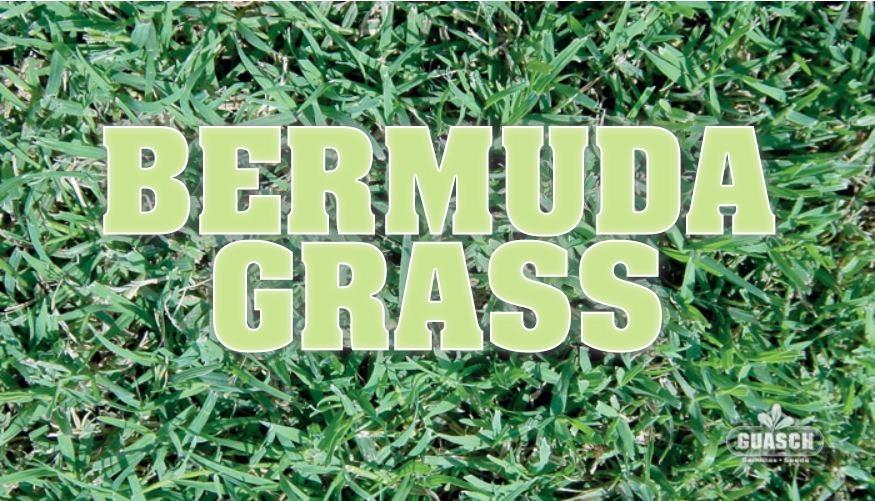 Grass Semillas 1 Cesped Bermuda Profesional Kilo FKcl13TJ
