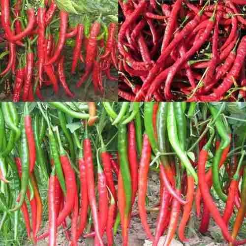 semillas chile chili picante gigantes pack x 10
