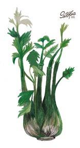 semillas de apio pascal gigante 4g