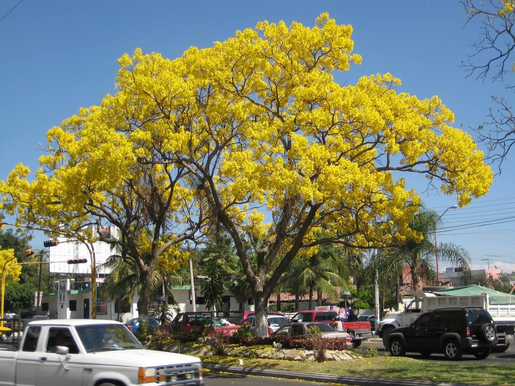 Semillas de rbol de flor de primavera hermoso - Arboles ornamentales para jardin ...