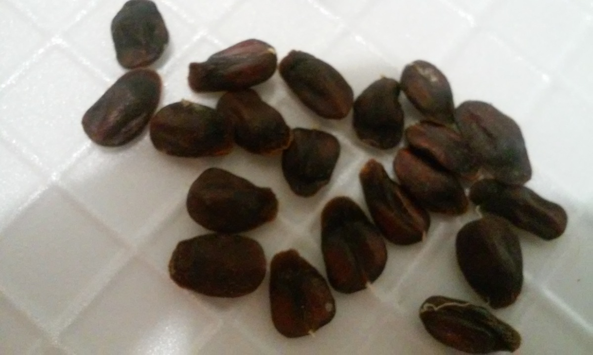 Semillas De Arbol De Magnolia 10 00 En Mercado Libre