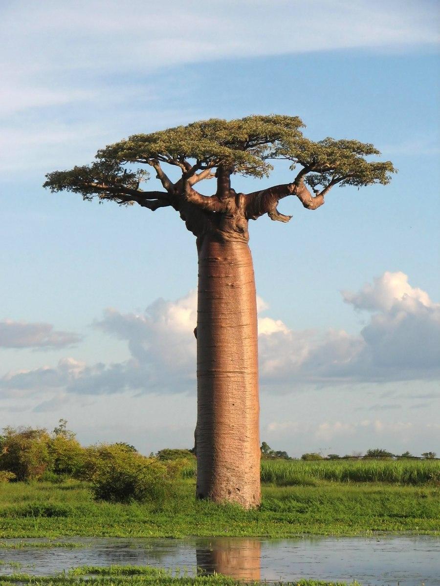 Semillas de baobab arbol botella adansonia 159 00 for Baobab jardin