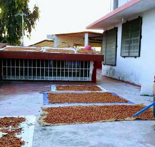semillas de cacao seco.
