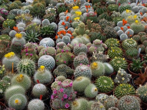 semillas de cactus variados