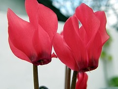 semillas de ciclame