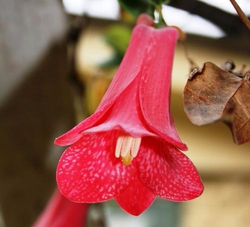 semillas de copihue rojo, excelente germinación, oferta