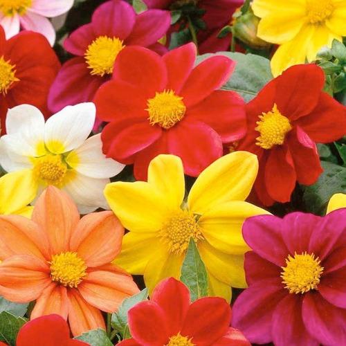 semillas de dalia mignon mix de colores