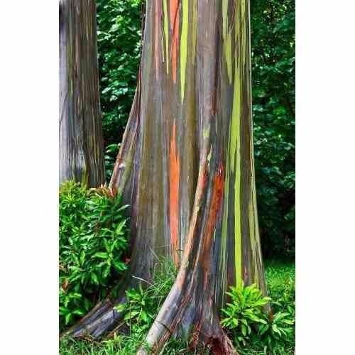 semillas de eucaliptus arcoiris eucalipto, envío todo chile