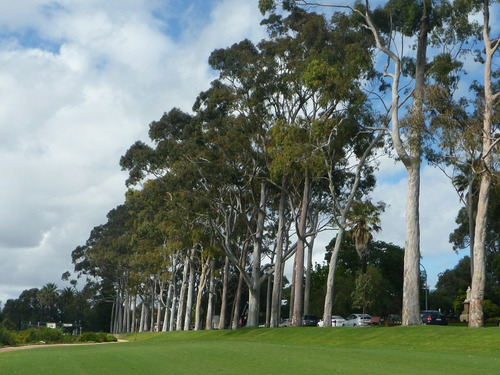 semillas de eucalyptus corymbia citridiora - aroma a limon