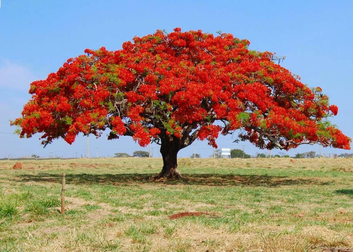 Semillas de flamboyant gu a de cultivo para bonsai for Arbol del fuego jardin