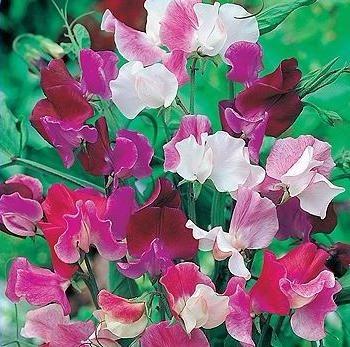 semillas de flor arvejilla guisante variada perfumada flores