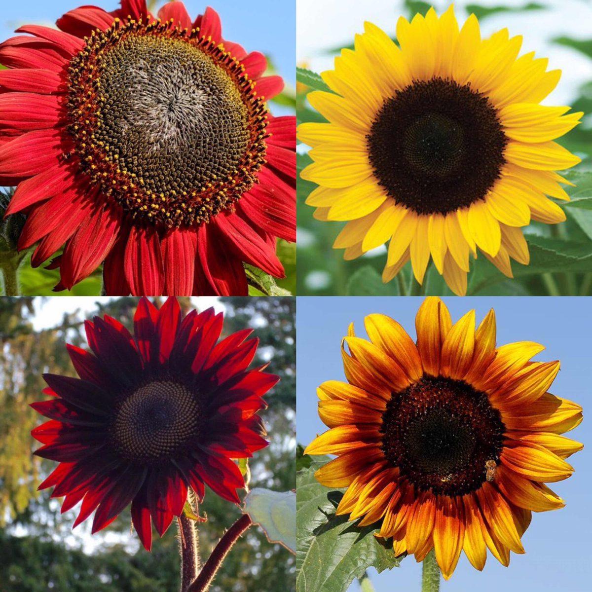 Resultado de imagen para color de girasoles
