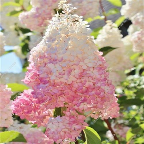 Semillas de hortensia vainilla fresa en mercado - Semillas de hortensias ...