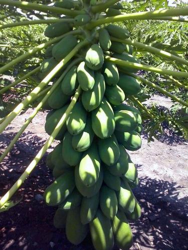semillas de lechosa mulata semillas del caribe 2500 semillas