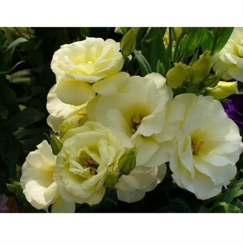 semillas de lisianthus - premium