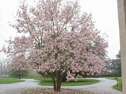 Semillas de magnolia soulangeana magnolio chino codigo - Semilla de magnolia ...