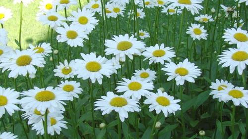 semillas de margarita flor blanca grande