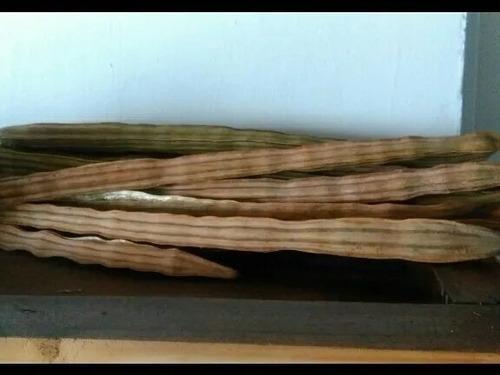 semillas de moringa orgánica para la siembra y consumo