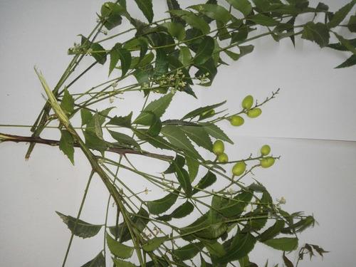 semillas de neem