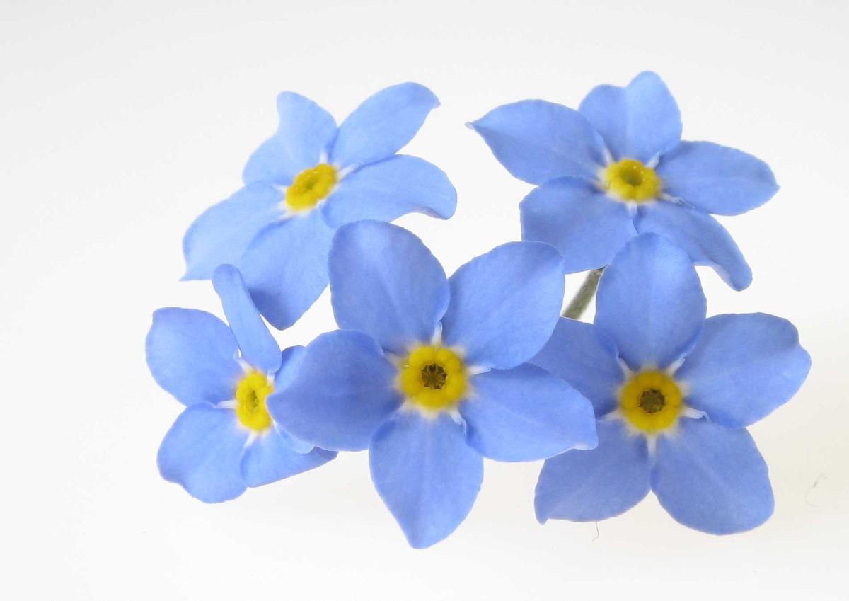 semillas de no me olvides flor 200 semillas miosotis en mercado libre. Black Bedroom Furniture Sets. Home Design Ideas
