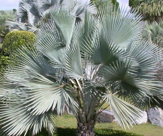 nobilis træ