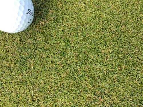 semillas de pasto agrostis canina - dominant x-treme 250 gr