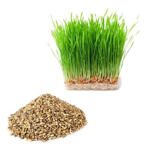 semillas de pasto kikuyina - colosoana bolsa de 10 kilos