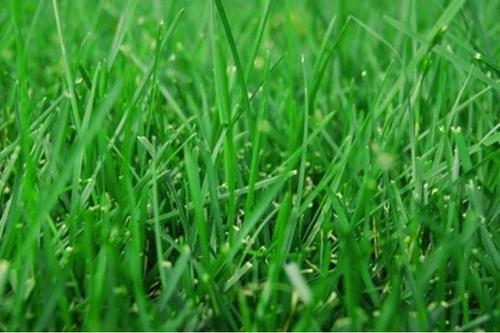 semillas de pasto paspalum pensacola bahía grass importadas