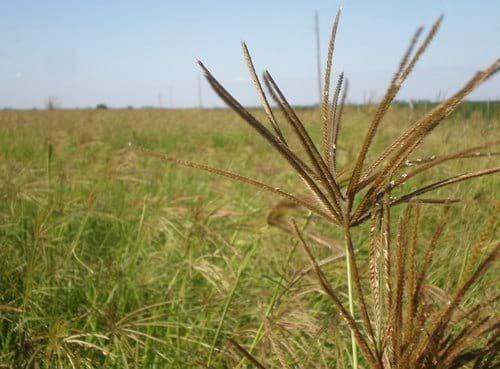 semillas de pasto rhodes 10 kg