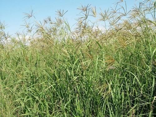 semillas de pasto rhodes, saco de 10 kg