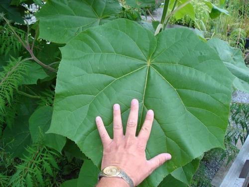 semillas de pawlonia elongata