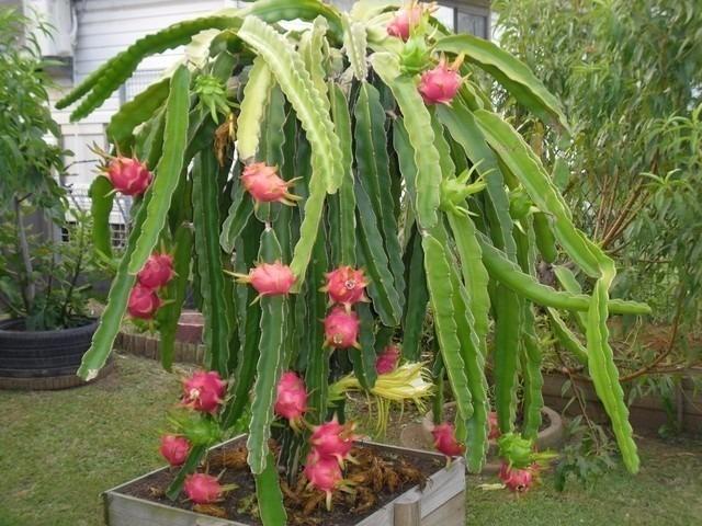 Resultado de imagen para manual de cultivo de pitahaya PDF