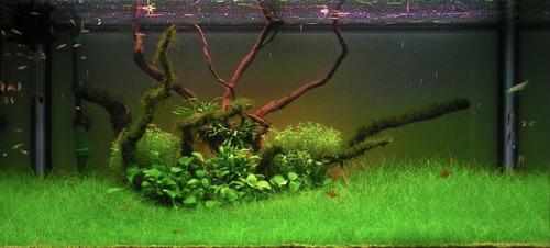 semillas de plantas de acuario eleocharis