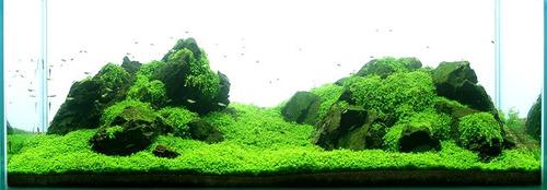 semillas de plantas de acuario hemianthus